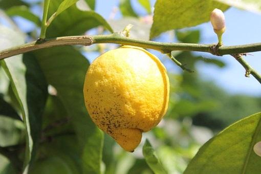 Agricultura articula las indemnizaciones por la aplicación de medidas fitosanitarias para erradicar el mal seco de los cítricos