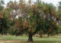 Un nuevo brote de Xylella fastidiosa en Alicante afecta a 47 parcelas de almendros