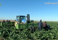 VÍDEO: Normalidad en las campañas del brócoli y la coliflor en el Bajo Guadalquivir