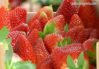 VÍDEO: Arranca la campaña de la fresa en Huelva