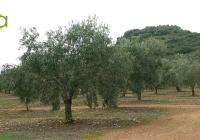 COAG Andalucía reclama transparencia para que el olivar no se vea sometido a prácticas especulativas