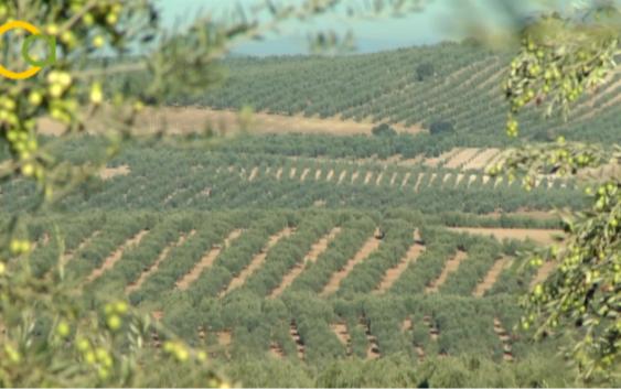Interóleo se adhiere a la candidatura del paisaje del olivar como Patrimonio de la Humanidad