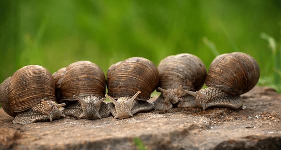 ARA participa en el Grupo Operativo sobre Innovación en sistemas de alevinaje y engorde de caracoles que lidera Heligemas, S.L.