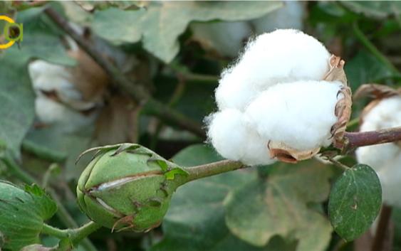 La Junta abona el primer pago de la ayuda específica al cultivo del algodón, que alcanza los 51,3 millones de euros