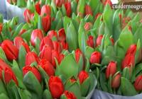 VÍDEO: La recolección de flor cortada en el Bajo Guadalquivir