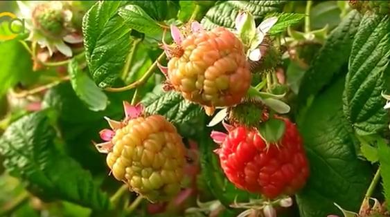 UPA Andalucía solicita a la Junta que convoque con urgencia grupo de trabajo de frutos rojos