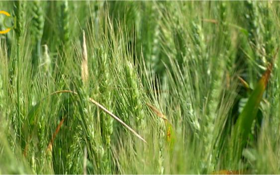 Carlos Cabanas aboga por el uso eficiente de los recursos genéticos de los cereales para mejorar su productividad