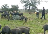 VÍDEO: Balance de la montanera en Aroche, Huelva