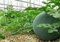 El Ifapa trabaja en nuevas herramientas de control biológico para mejorar la calidad de la producción de sandía