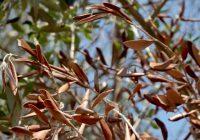 COAG y ASAJA preocupadas por el primer caso positivo de Xylella en olivar en España