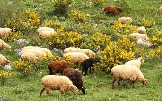 Agricultura trabaja en la mejora de la oveja merina de Grazalema con nuevas técnicas de reproducción asistida