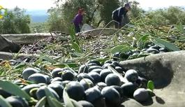 Comienza la campaña de la aceituna en Córdoba con una primera producción de 600 toneladas