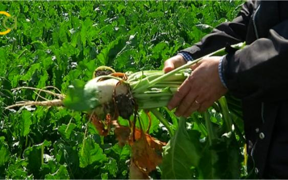 """COAG denuncia la """"agenda oculta de Azucarera"""" para controlar la producción de remolacha y conseguir un sector más dócil"""