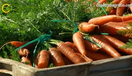 El valor de las exportaciones andaluzas de zanahoria crece  un 10,4% y el ajo gana terreno en Estados Unidos