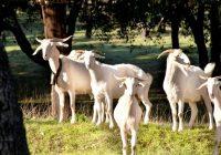 """Autorizado el uso del logotipo """"Raza Autóctona"""" al ganado caprino de raza Retinta Extremeña y Blanca Andaluza y bovino de Raza Palmera"""