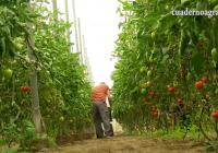 VÍDEO: Recolección del tomate en Almería