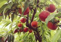VÍDEO: Recolección de fruta de hueso en Utrera, Sevilla