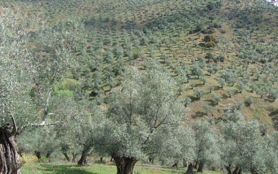 La Asociación Andaluza de Regantes y UPA presentan solicitudes de riego extraordinario para el olivar