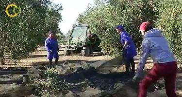 Andalucía cierra la campaña con una producción de 950.000 toneladas de aceite de oliva, el 76% del total nacional