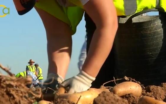 Los agricultores sevillanos repartirán patatas nuevas y celebrarán una fritada comparativa con la francesa de conservación