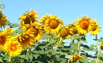 La superficie de girasol se reduce en torno al 15% en la provincia cordobesa por su escasa rentabilidad