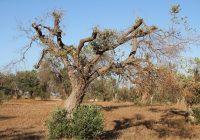 Cámaras aéreas detectan olivos enfermos por 'Xylella fastidiosa' en estado asintomático