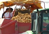 VÍDEO: Recolección de la patata temprana en Sevilla
