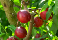 Esperanza Orellana analiza con el sector hortofrutícola la evolución de la campaña 2018 de fruta de hueso