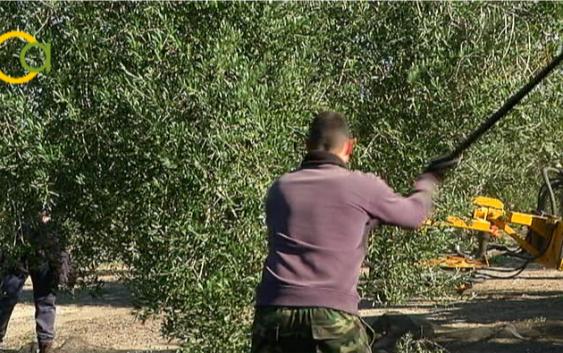 Agricultura convoca otros 13 millones de euros para la incorporación de jóvenes gaditanos a la actividad agraria