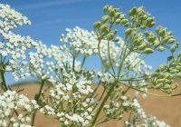 El anís dulce incrementa su superficie en Andalucía, con más de 9.500 hectáreas cultivadas