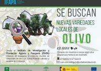 Agricultura reúne nuevas variedades locales de olivo no identificadas para su colección mundial