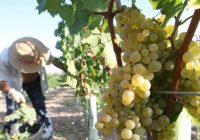 Comienza en Montilla-Moriles la vendimia más temprana de Europa