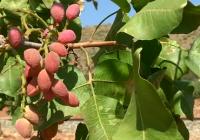 Andalucía cuenta ya con casi 2.500 hectareas dedicadas al cultivo de pistacho, un 31% más que en la campaña anterior