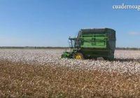 VÍDEO: La recolección del algodón en Lebrija, Sevilla