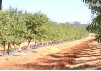 VÍDEO: La recolección de la almendra en Andalucía