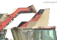 VÍDEO: Recolección del tomate de industria en Lebrija, Sevilla