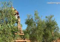 VÍDEO: El verdeo en Arahal, Sevilla