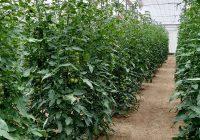 Nuevos ensayos en Tecnova confirman el aumento de hasta un 48% en la firmeza de los frutos con Ecoculture Biosciences