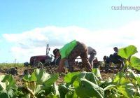 VÍDEO: Recolección del boniato en Sanlúcar de Barrameda