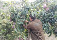 VÍDEO: Recolección del mango en Almuñécar, Granada