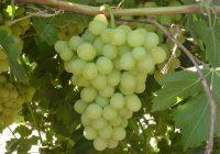 España y China suscriben Protocolos sanitarios para la exportación de uva de mesa y de carne y productos de porcino