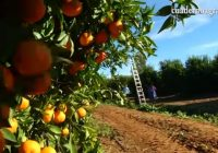 VÍDEO: Recolección de cítricos en la Vega del Guadalquivir
