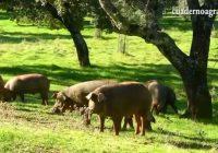 VÍDEO: Montanera en Cazalla de la Sierra, Sevilla