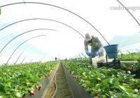 VÍDEO: Arranca la campaña de fresa en Huelva