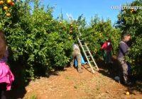 VÍDEO: Campaña de precios muy bajos para los cítricos