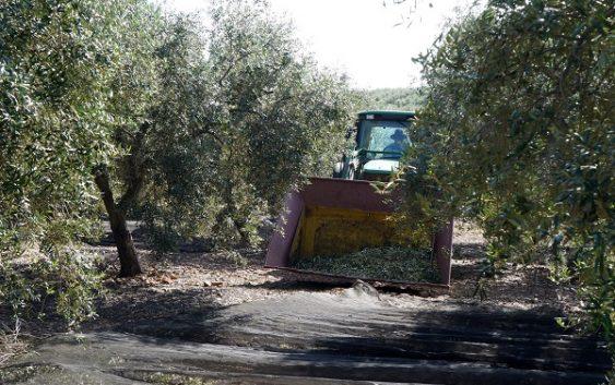 """Cooperativas Agro-alimentarias: """"La falta de mano de obra deja sin recoger parte de la cosecha de aceituna en la sierra cordobesa"""""""