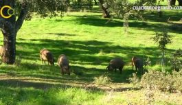 VÍDEO: Las organizaciones agrarias Asaja y COAG hacen balance de la Montanera