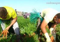 VÍDEO: Campaña de la zanahoria en Sanlúcar de Barrameda