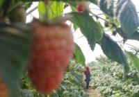 VÍDEO: Recolección de frutos rojos en Huelva