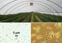 Un equipo del CSIC confirma la presencia de parásitos perjudiciales en las colonias de abejorros de uso comercial